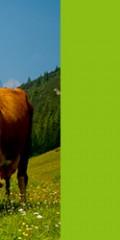 آموزش مجازی اصول پرورش گاوهای شیرده