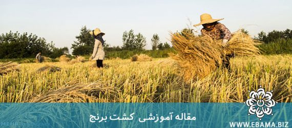شیوه تولید برنج